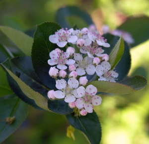 Aronia melanocarpa (black chokeberry) flowers in early May.