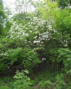 The forest in spring, with dogwood in bloom.